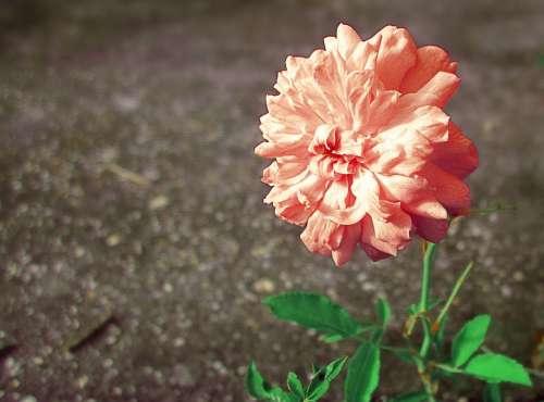 Pink Rose Flower Pink Flower Peach Flowers Nature