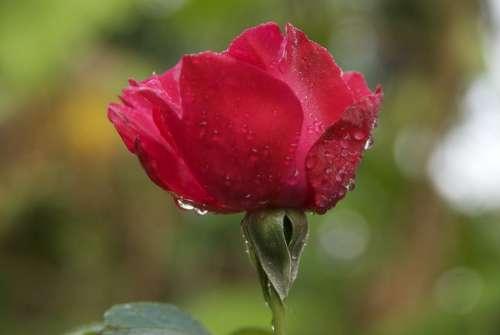 Pink Dew Morning Dew Madagascar Flower Red