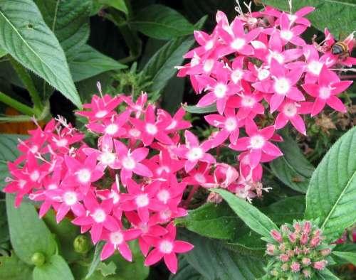 Pink Pentas Penta Flowers Pink Garden Star Floral