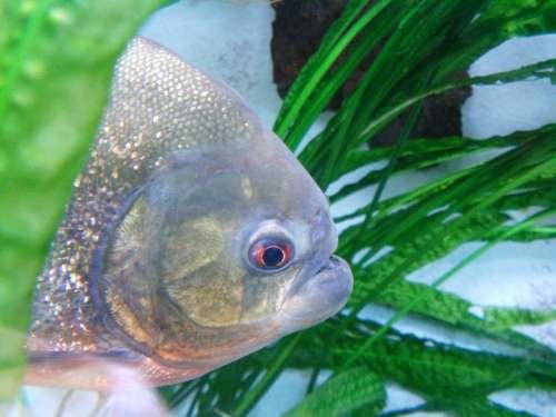Piranha Fish Dangerous