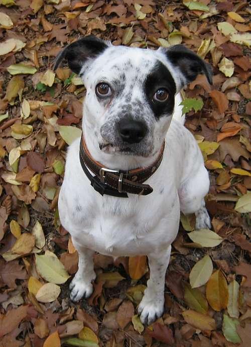 Pirate Dog Black White Cool Eye Guard Dog Shield