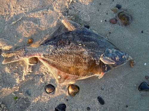 Plaice Fish Beach Stranded Dead