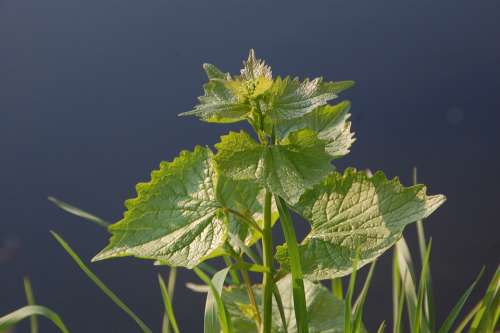Plant Nettle Nature
