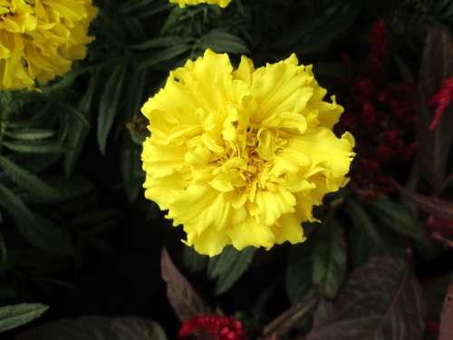 Plant Chrysanthemum Yellow Flower
