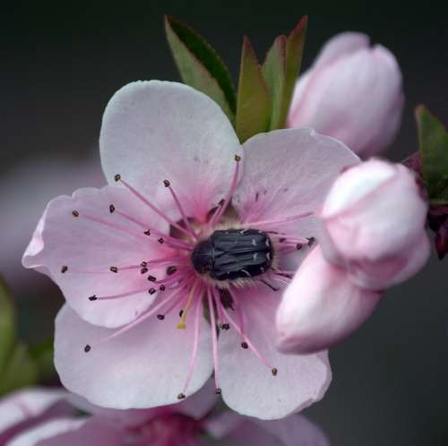 Plant Flower Spring Peach Insect Flowering Tree