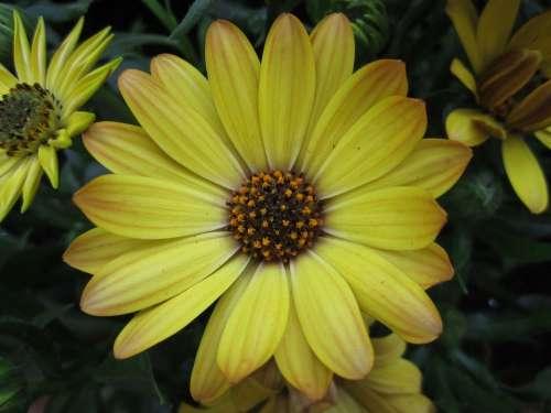Plant Flower Marguerite Blossom Bloom Yellow