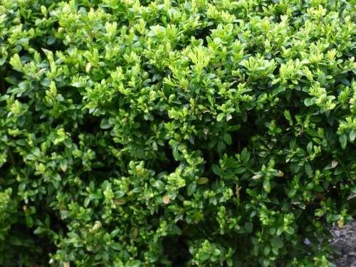 Plant Vegetation Green The Bushes Bushes Scrubs