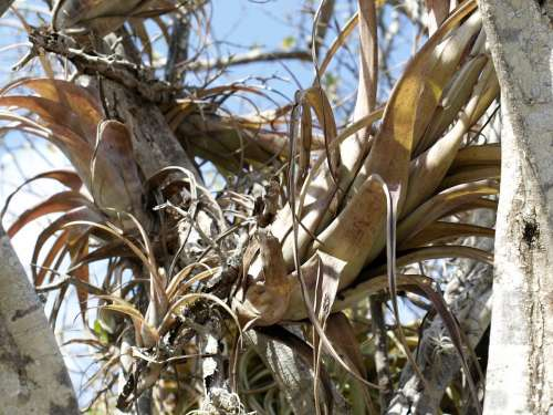 Plant Tillandsia Bromeliengewaechs Nature Tropics