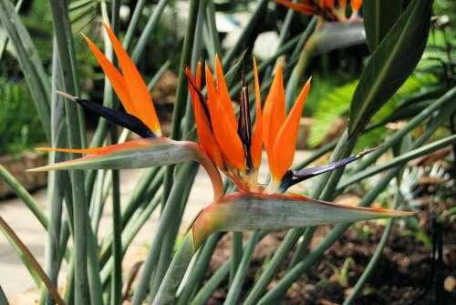 Plant Strelitzia Reginae South Africa Orange