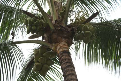 Plant Landscape Scenic Palm Coconut Nature