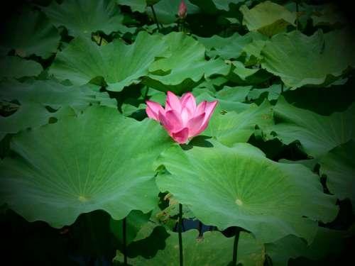 Plant Lotus Natural