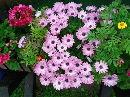 Plant Flower Bloom Purple Garden Pink
