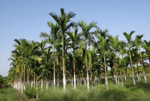 Plantation Areca Nut Areca Palm Areca Catechu