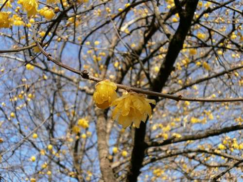 Plum Robin Flowers Wood Yellow