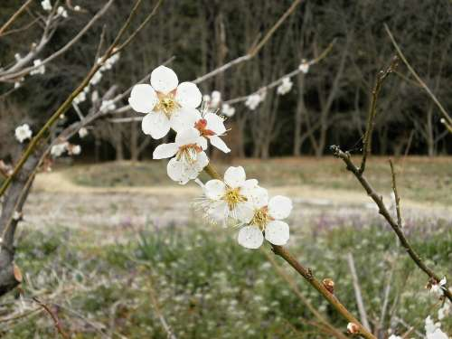 Plum Plum Blossoms Spring White Flowers