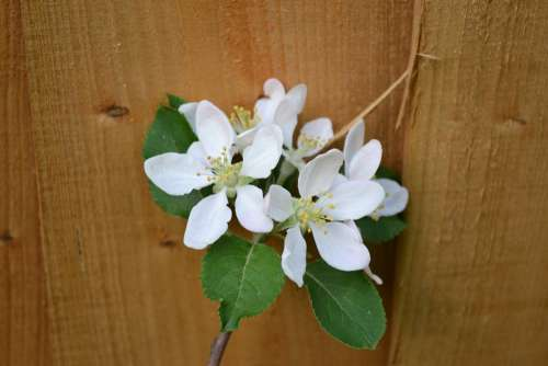 Plum Blossom Blossom On Fence Spring White Flower