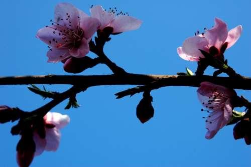 Plum Blossom Pink Branches Blue Sky Pistil Sweet