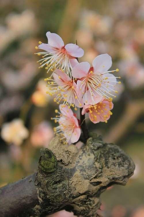 Plum Blossom Spring Germination Brilliant