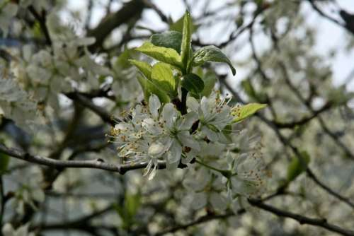 Plum Tree Flowering Twig Branch Flowers