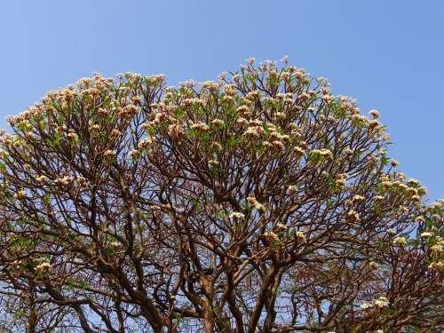 Plumeria Frangipani Flowers Tree Blossoms India