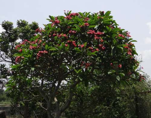 Plumeria Rubra Frangipani Red Frangipani Temple Tree