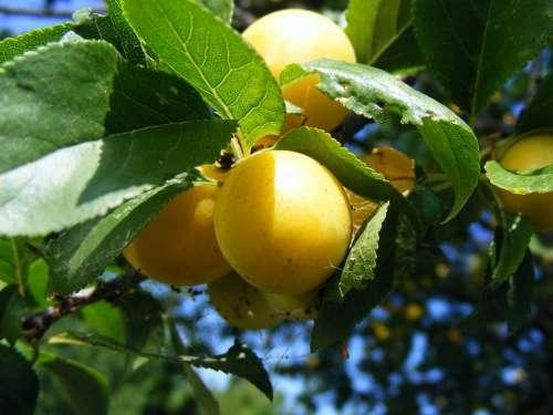 Plums Prunu Red Round Sweet Yellow Fruit