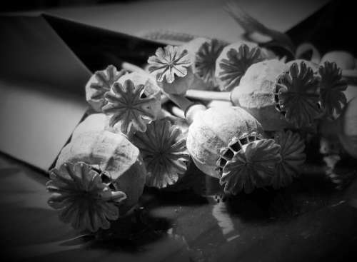 Pods Seed Poppy Dry Bleached Detail Black White