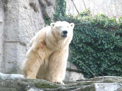 Polar Bear Bear Animal World Sweet Bears Zoo Rest