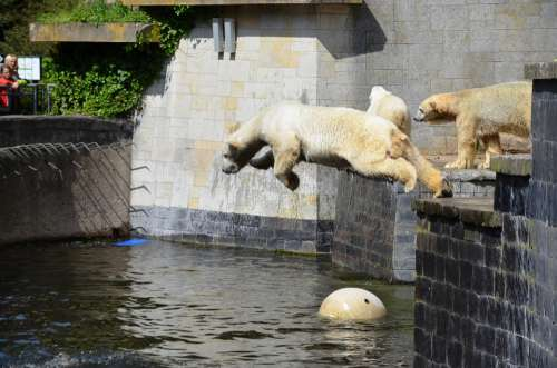 Polar Bear Jump Pike Jump Water Ursus Maritimus