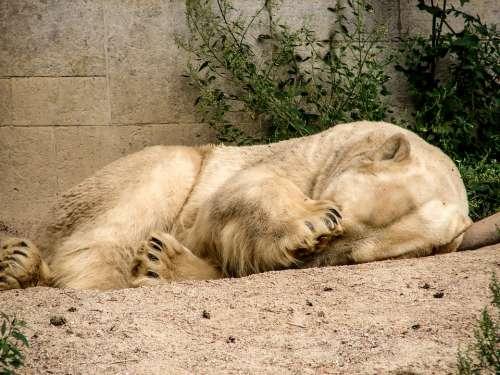 Polar Bear Bear Predator Kind Predator Sleep