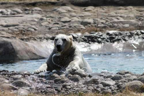 Polar Bear Bear Water Play Animal Nature Arctic