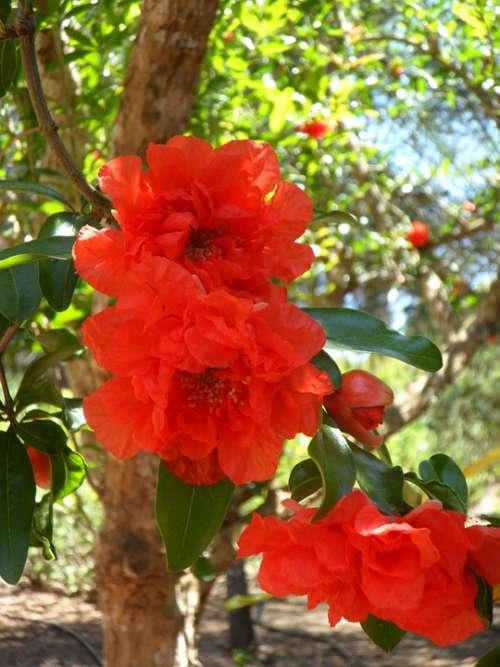 Pomegranate Pomegranate Blossom Blossom Bloom Bloom