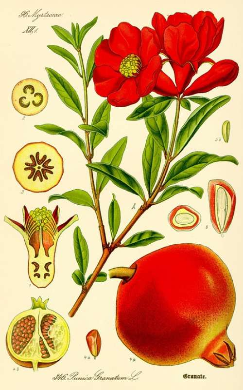 Pomegranate Punica Granatum Fruit Drawing Healthy