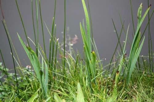 Pond Grass Green