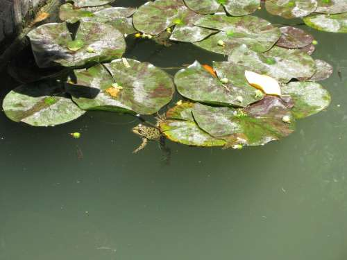 Pond Frogs Water Lilies