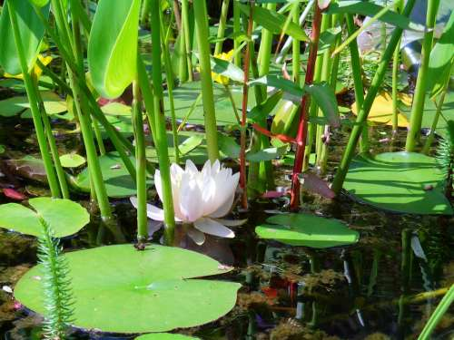 Pond Water Lily Lake Aquatic Plants White Blossom