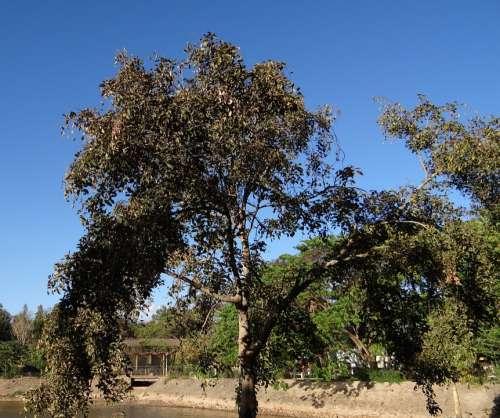 Pongamia Pinnata Indian Beech Tree Honge Karanji