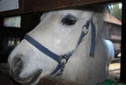Pony White Horse Barn Farm Head Animal