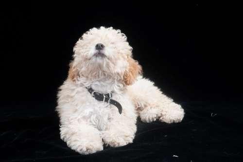 Poodle Dog Animal Puppy Cute Pet