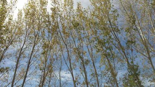 Poplar Green Sky Postcard Nature Spring