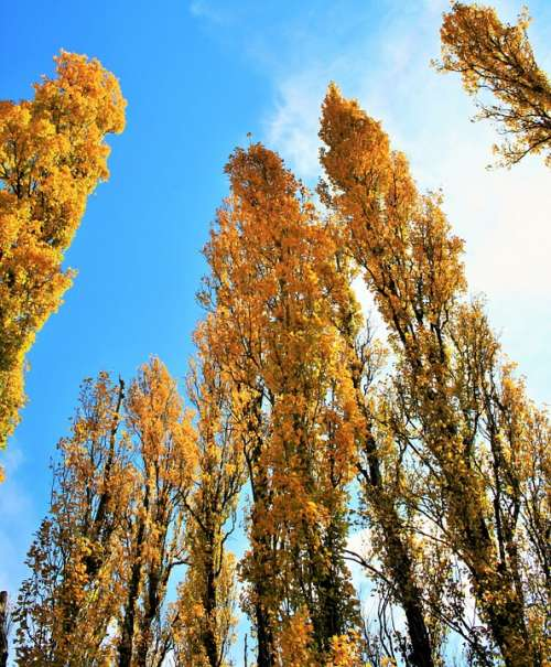 Poplar Trees Trees Yellow Poplar Tall Autumn