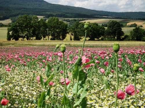 Poppies Opium Poppy Poppy Field Meissner