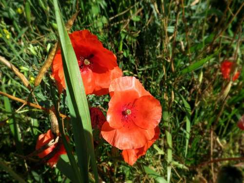 Poppies Flowers Poppy Nature Blooms Plant Red