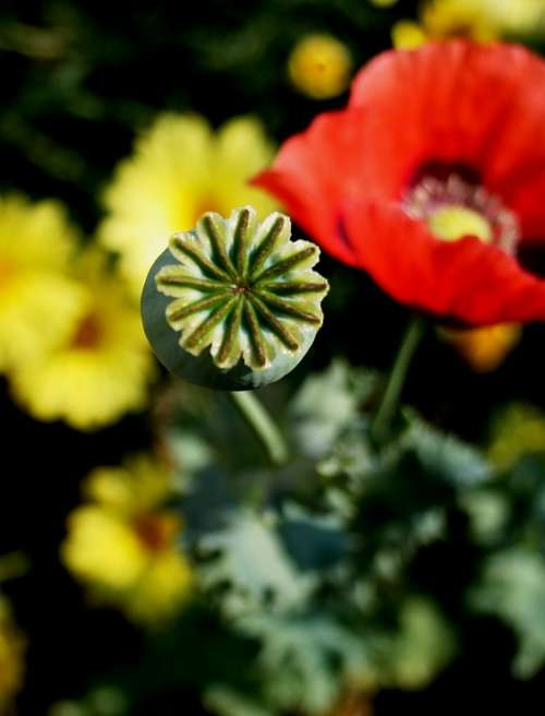 Poppy Pod Green Box-Like Serated Edge Red Daisies