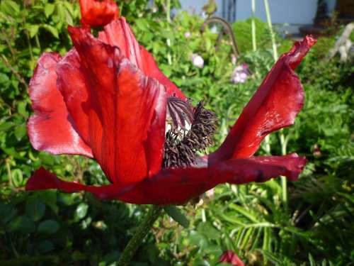 Poppy Blossom Bloom Mohngewaechs Garden Spring