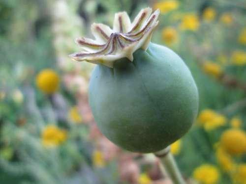 Poppy Capsule Nature Wildflowers Mohngewaechs