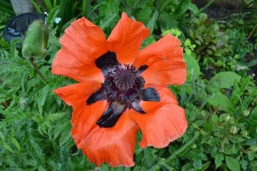 Poppy Red Black Oriental Flower Close-Up Papaver