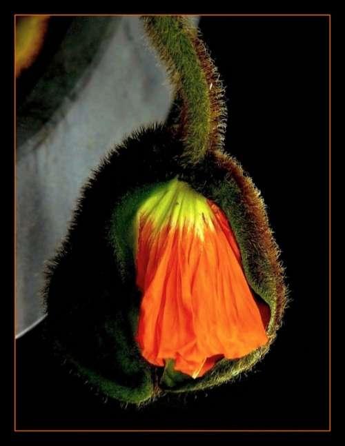 Poppy Poppy Flower Macro Flowers Flower Blossom