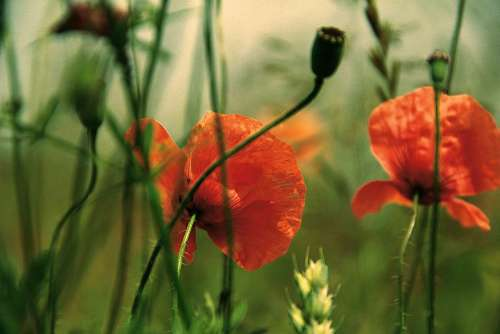 Poppy Flowers Summer
