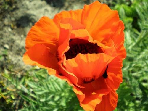 Poppy Blossom Bloom Flower Stamens Flower Garden